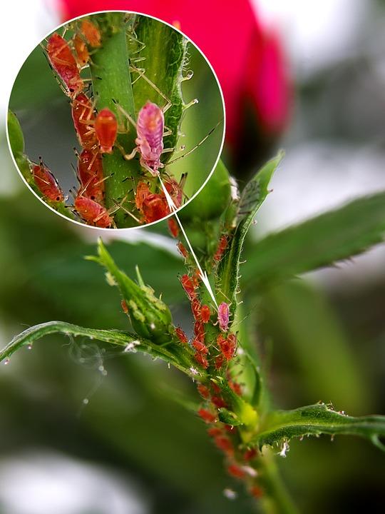 Blattläuse vergrößert