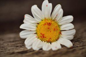 Sonnenblume mit Läusen