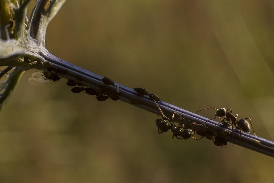 Schwarze Blattläuse