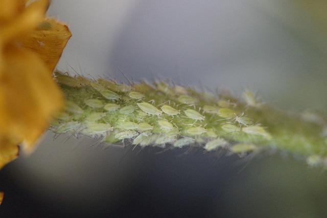 Blattlaus an Pflanzen