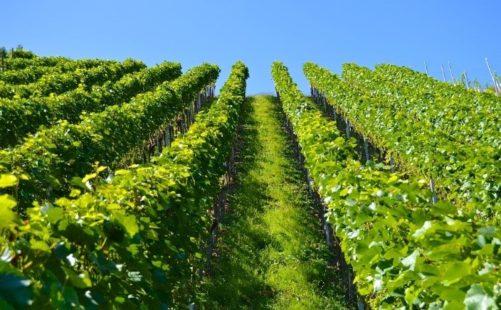Blattläuse an Weinrebe