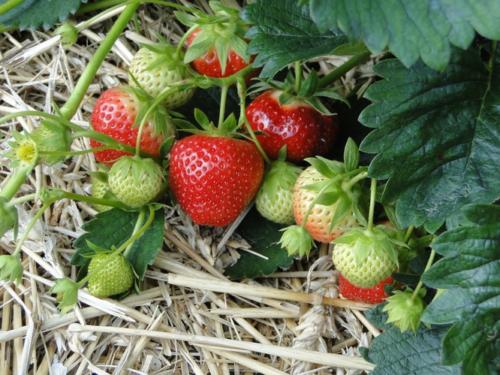 blattläuse an erdbeeren